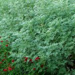 Traditional healers in the West region use artemisia plant as cure to coronavirus